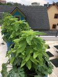 Edible Landscape: Basil, Beans, Tomatoes and Peppers!