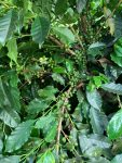 Our Experimental Coffee Trees